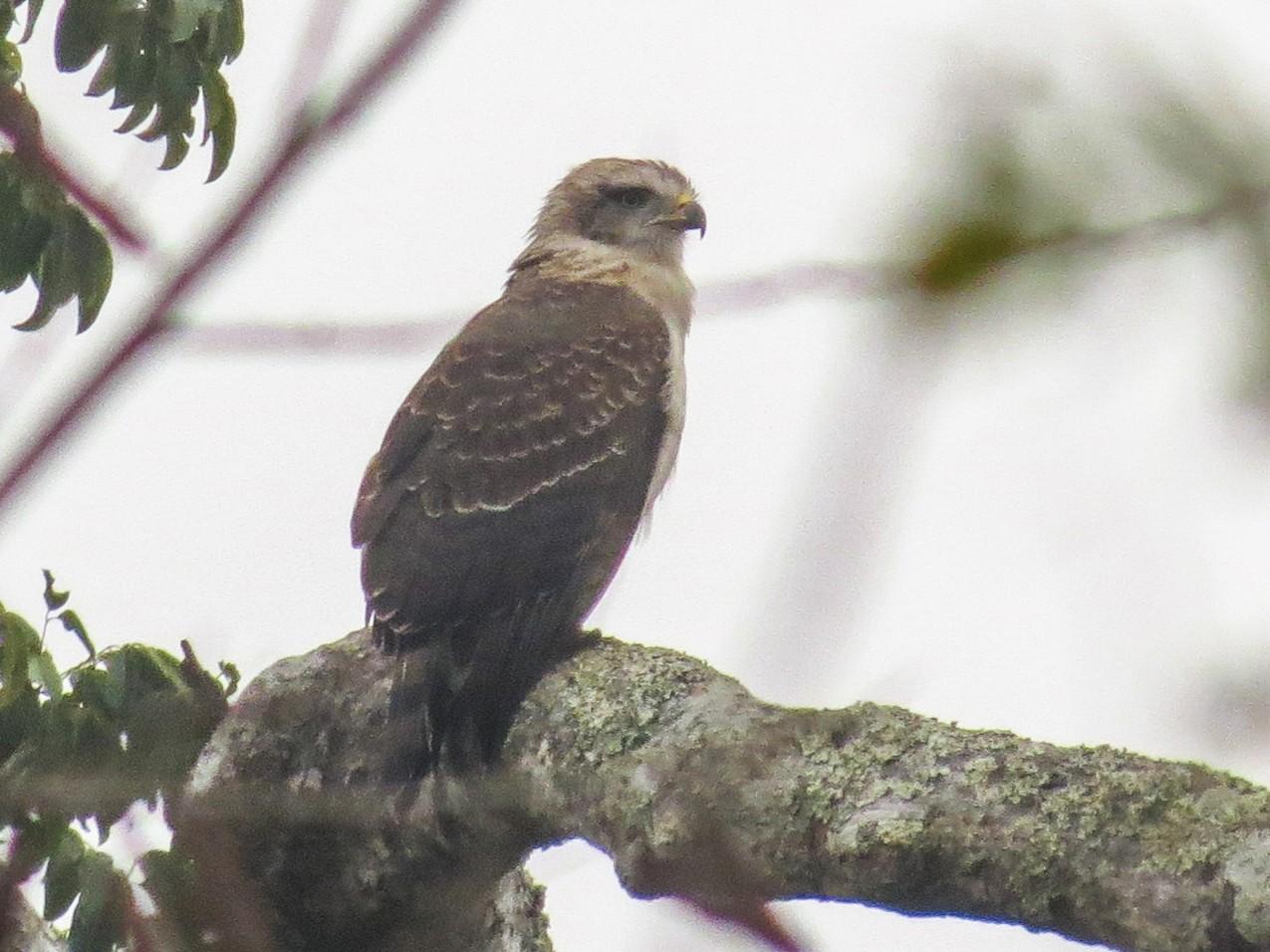 Banded Snake-Eagle - Rei Segali