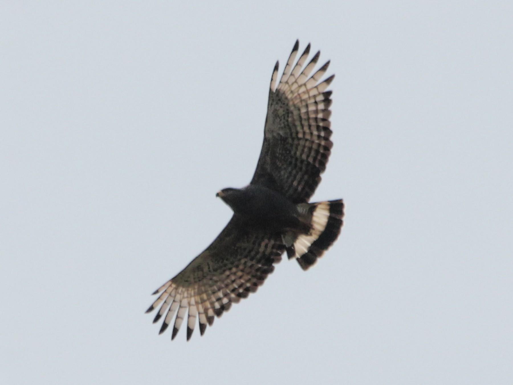 Banded Snake-Eagle - Peter  Steward