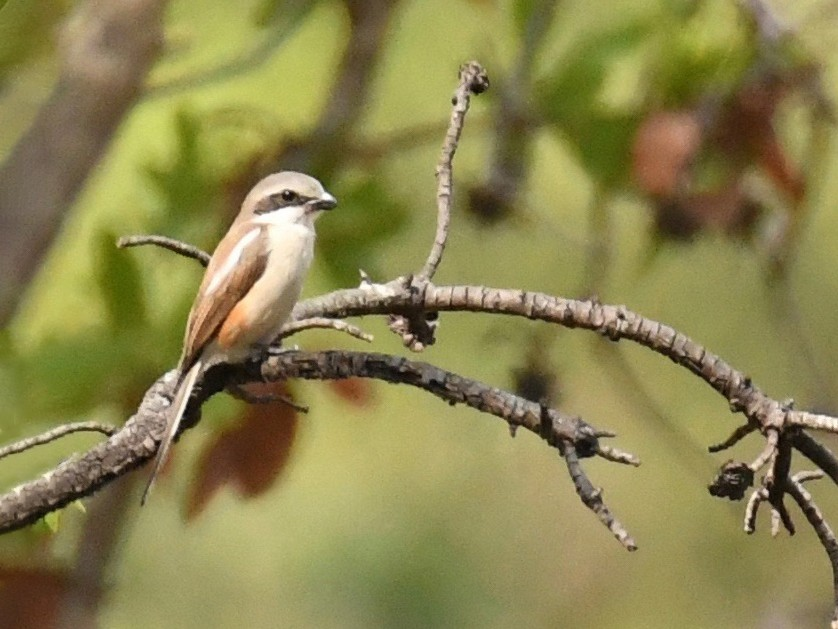 Souza's Shrike - Theresa Bucher