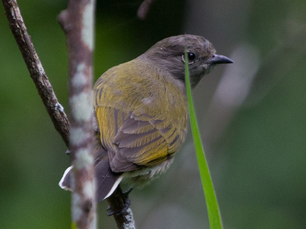 Green-backed Honeyguide - Lindy Fung