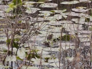 Wood Duck, ML229449291