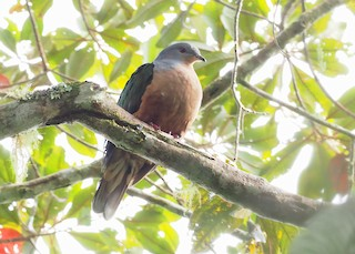 - Rufescent Imperial-Pigeon