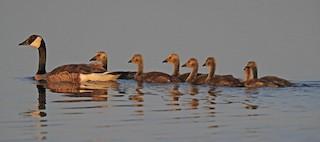 Canada Goose, ML229759241