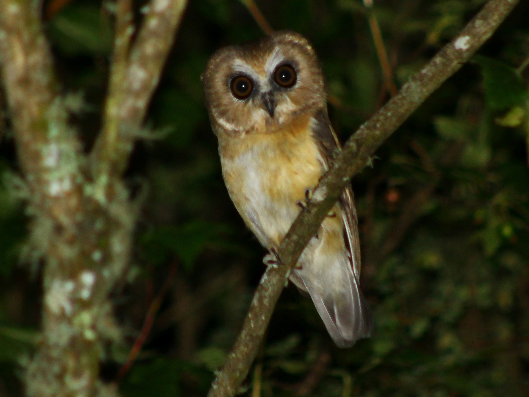 Unspotted Saw-whet Owl - Esteban  Matias