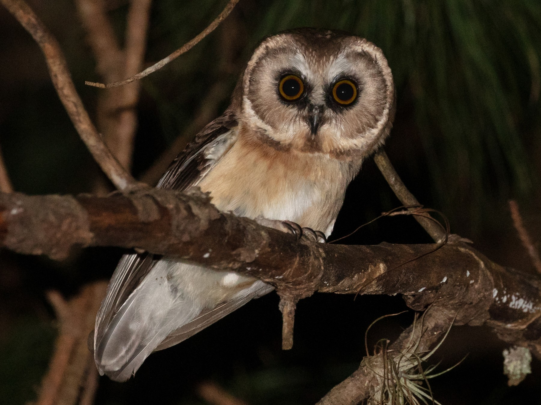 Unspotted Saw-whet Owl - Blair Dudeck