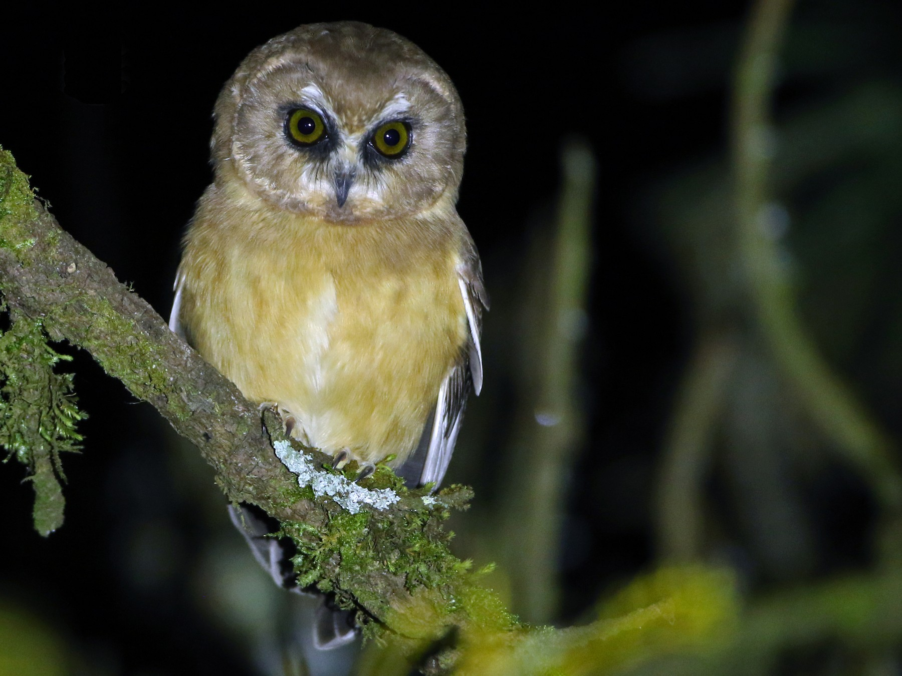 Unspotted Saw-whet Owl - Luke Seitz
