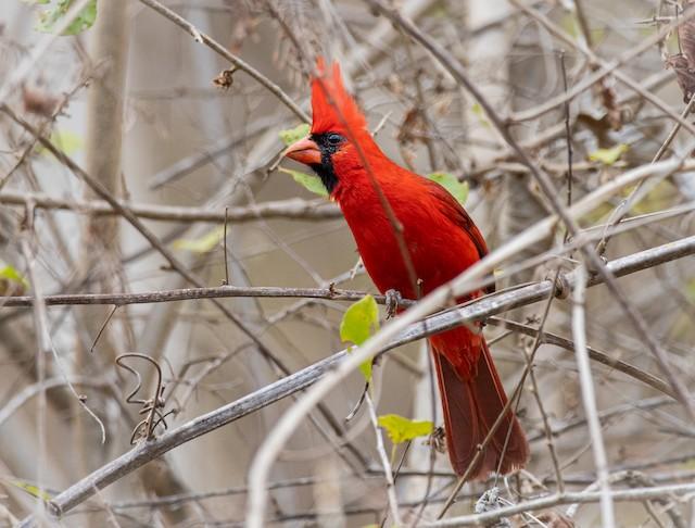 Male Northern Cardinal (presumed subspecies <em>carneus</em>).
