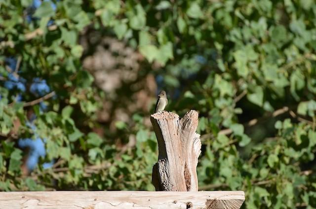 Western Wood-Pewee