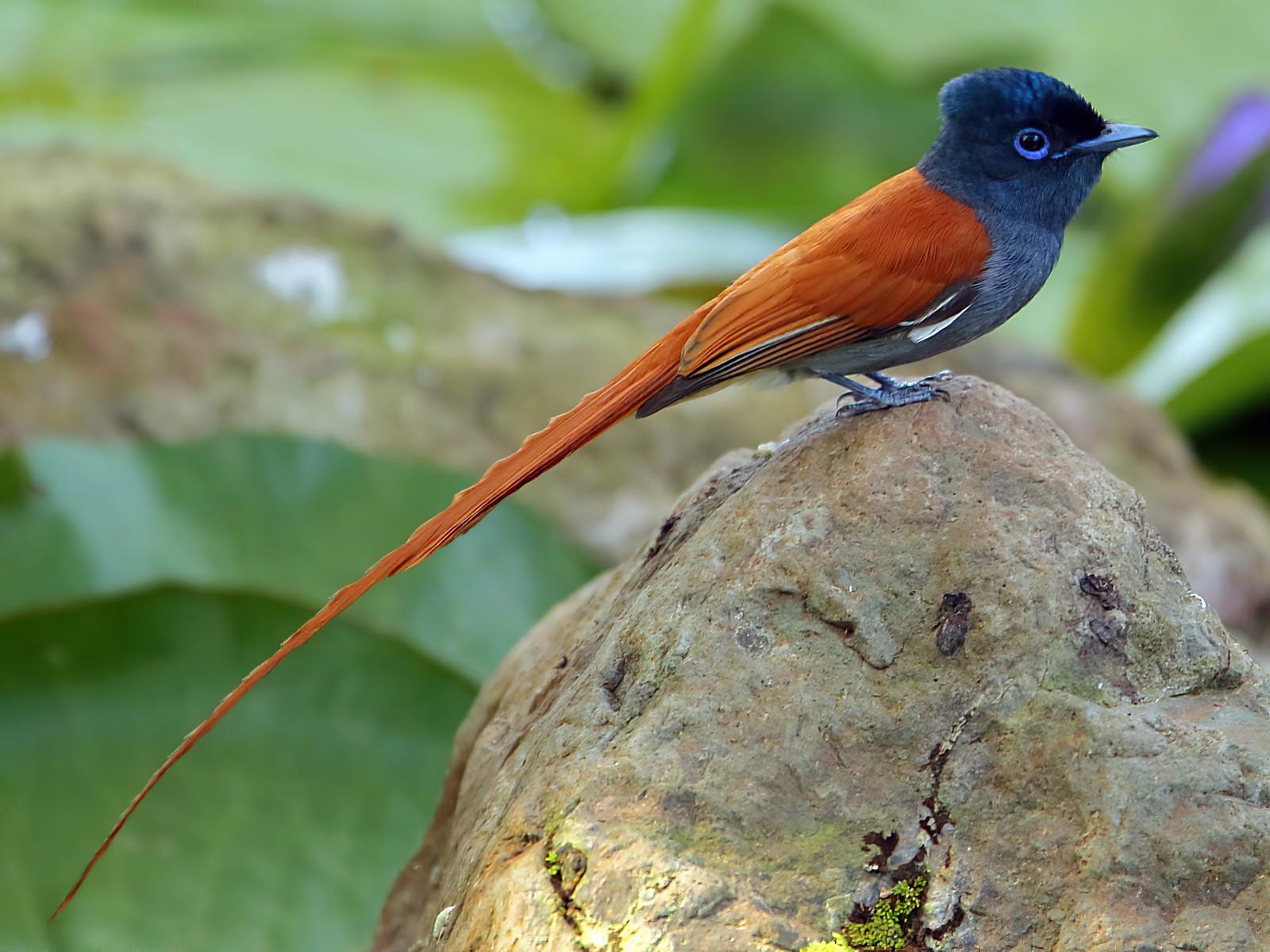African Paradise-Flycatcher - Tadeusz Rosinski