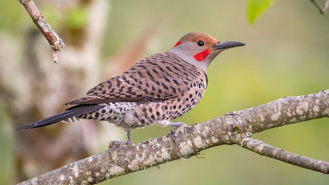 Northern Flicker (Yellow-shafted x Red-shafted)