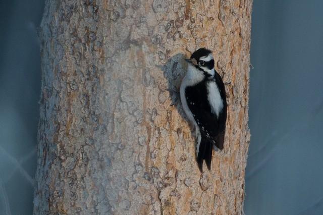 Downy Woodpecker (Rocky Mts.)