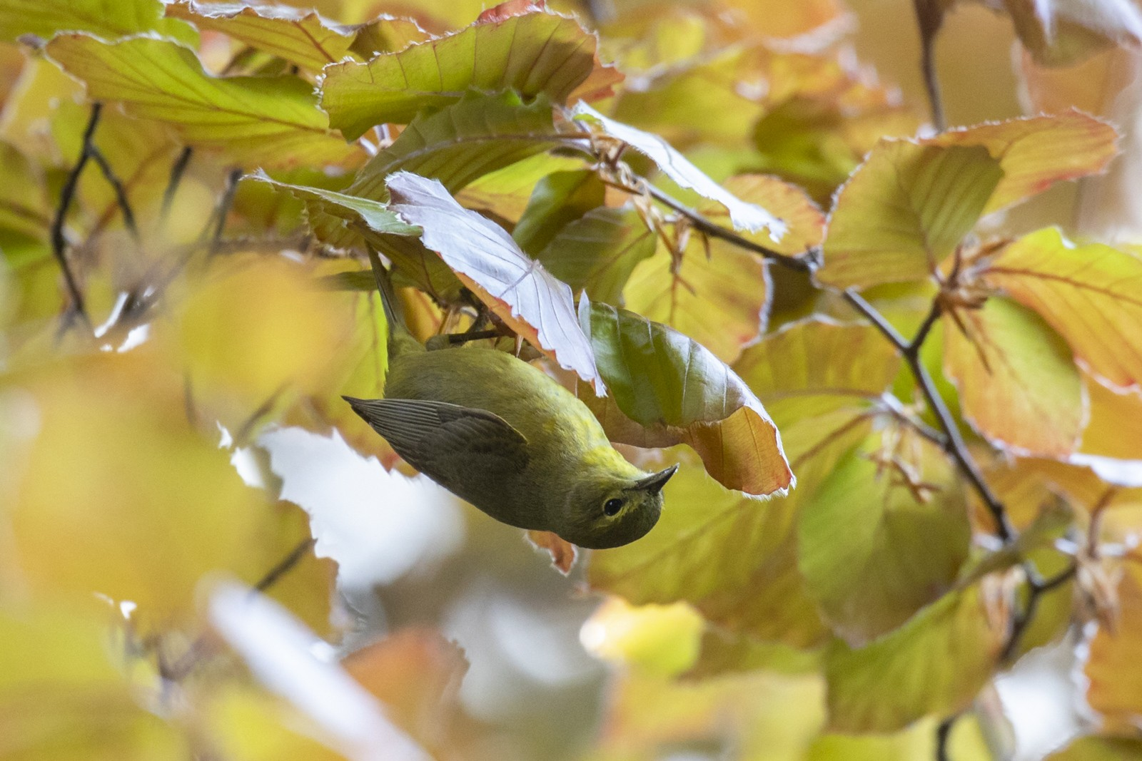 Orange-crowned Warbler (Gray-headed) - Liron Gertsman