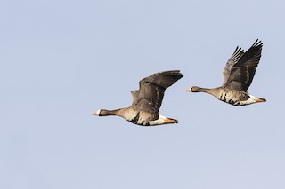 Greater White-fronted Goose, ML231191531