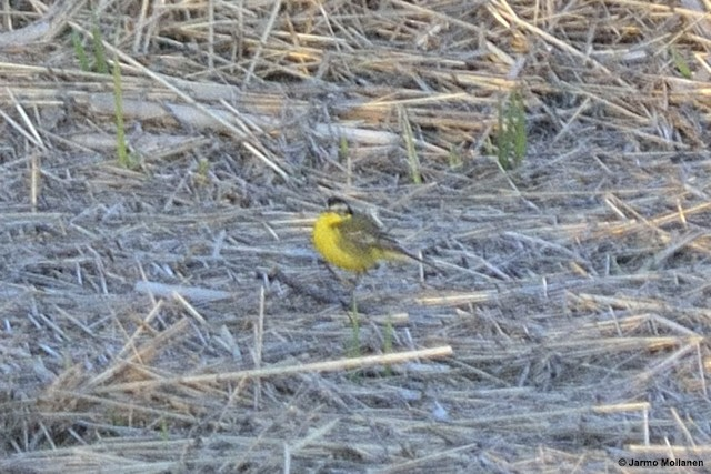 Western Yellow Wagtail (superciliaris-type intergrade)