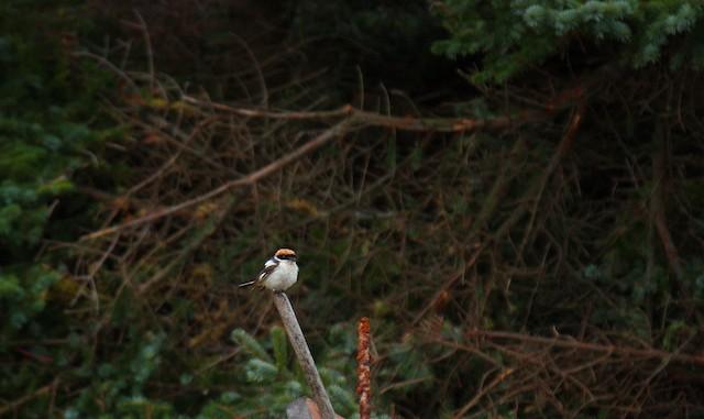 Woodchat Shrike (Western)