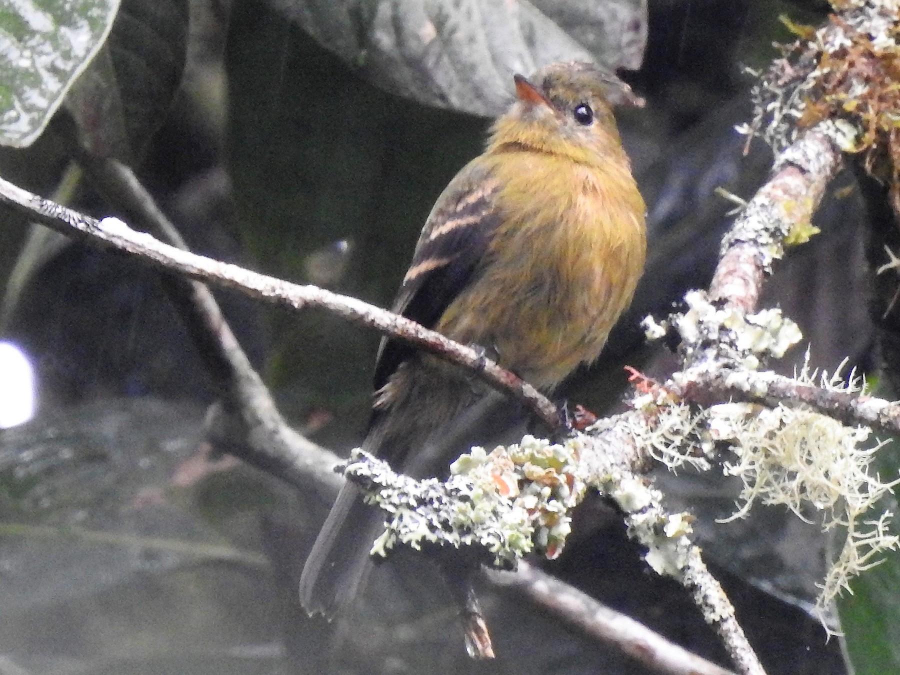 Olive Flycatcher - Euclides