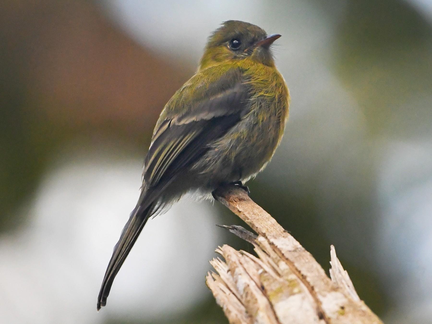 Olive Flycatcher - Ben Sanders