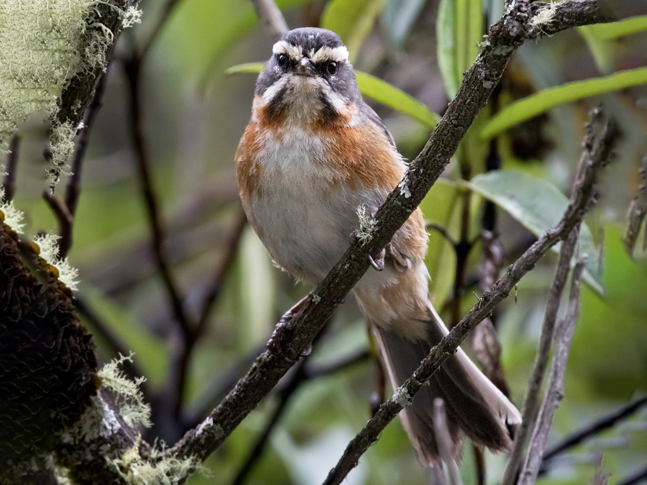 Plain-tailed Warbling-Finch - Lars Petersson