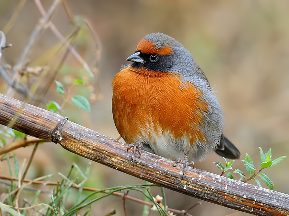 Rufous-breasted Warbling-Finch - Carlos Calle Quispe