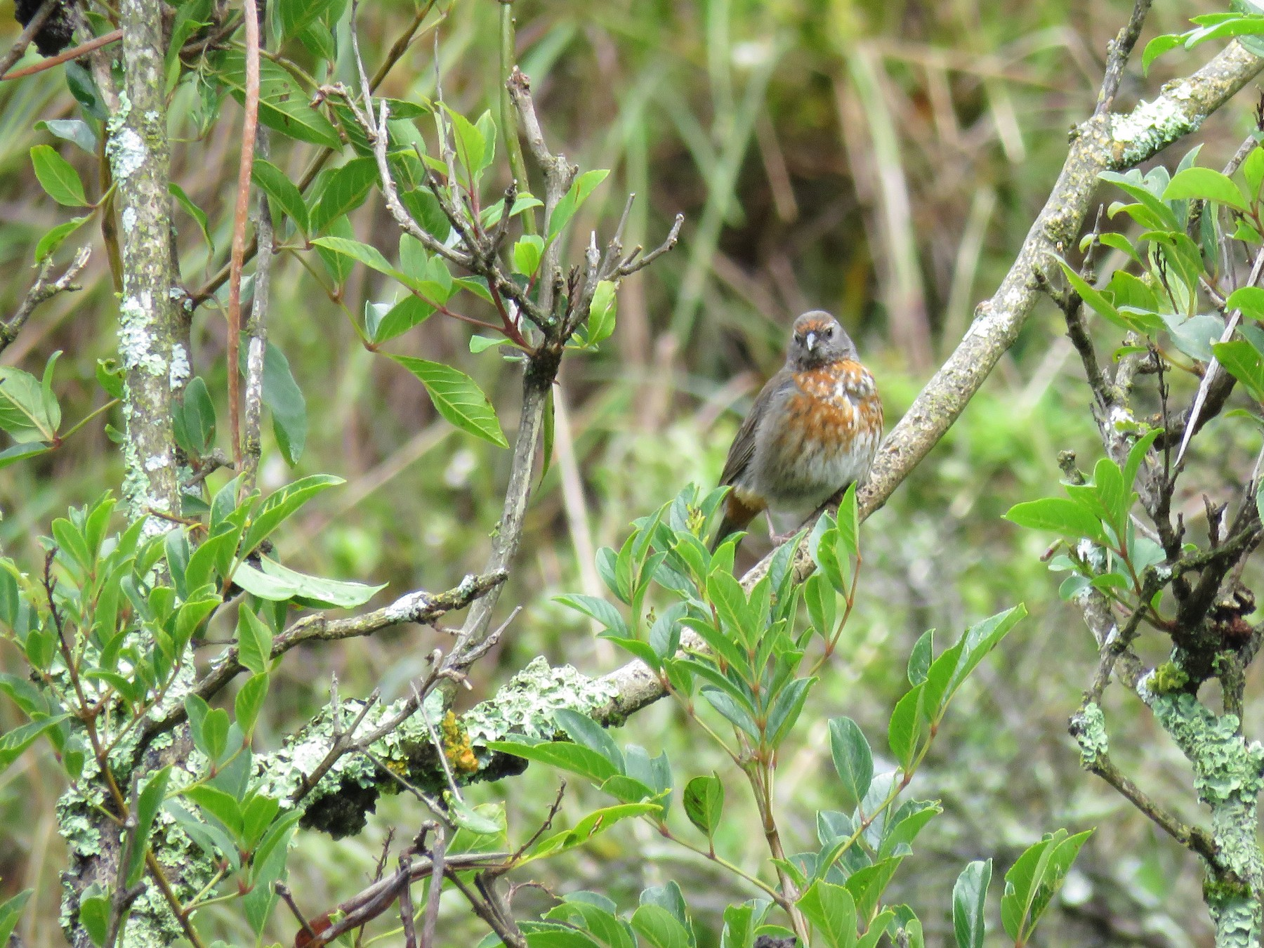Rufous-breasted Warbling-Finch - Manuel Roncal-Rabanal