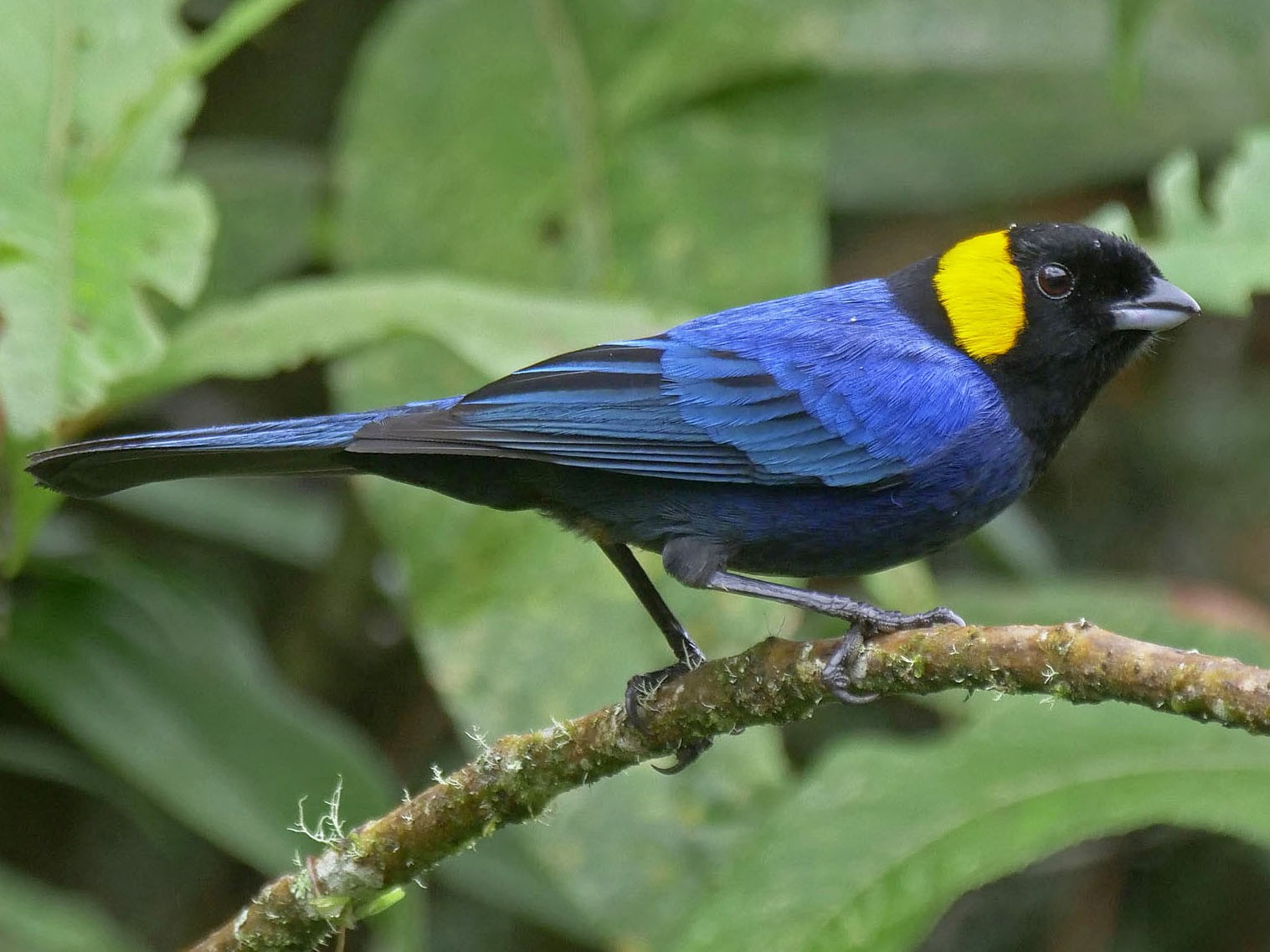 Yellow-scarfed Tanager - Tini & Jacob Wijpkema