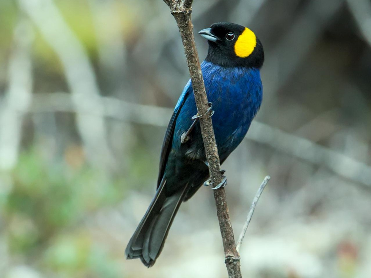Yellow-scarfed Tanager - Nick Athanas