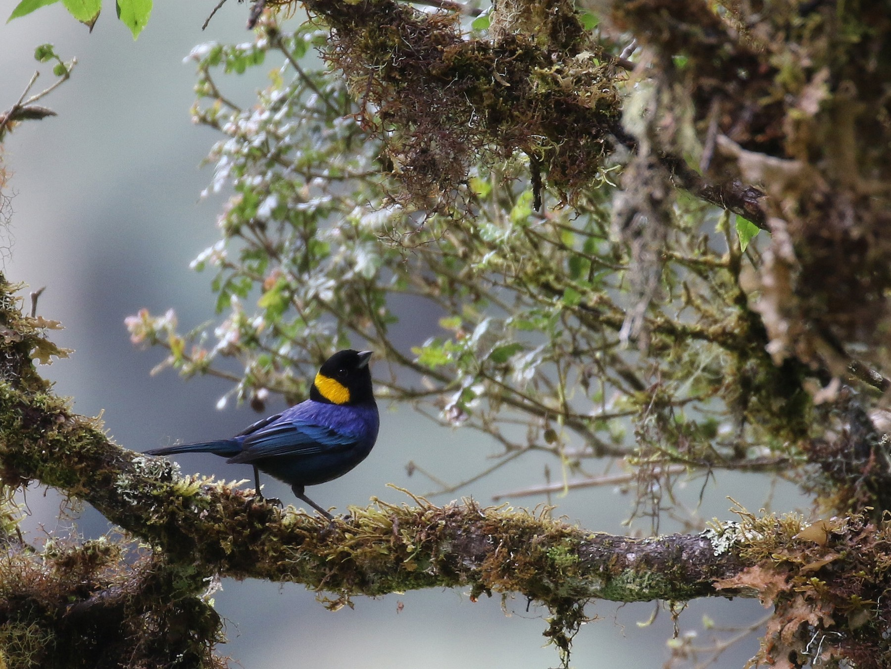 Yellow-scarfed Tanager - Fabrice Schmitt