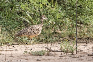 Quebracho Crested-Tinamou