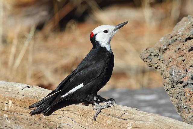Male White-headed Woodpecker.