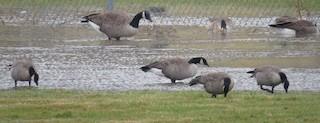 Cackling Goose, ML23163301