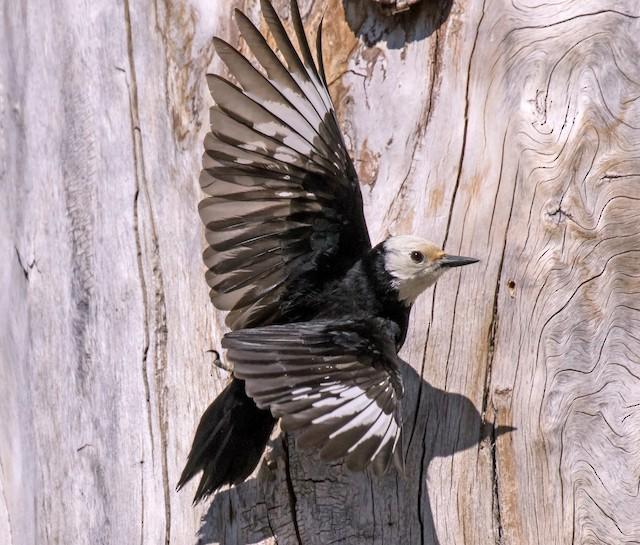 Possible Formative White-headed Woodpecker.