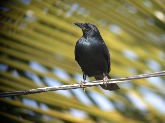 Sinaloa Crow