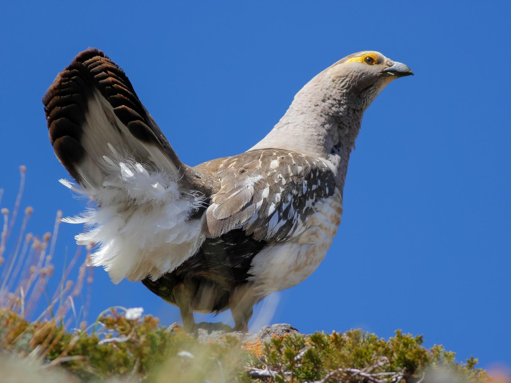 Altai Snowcock - Purevsuren Tsolmonjav