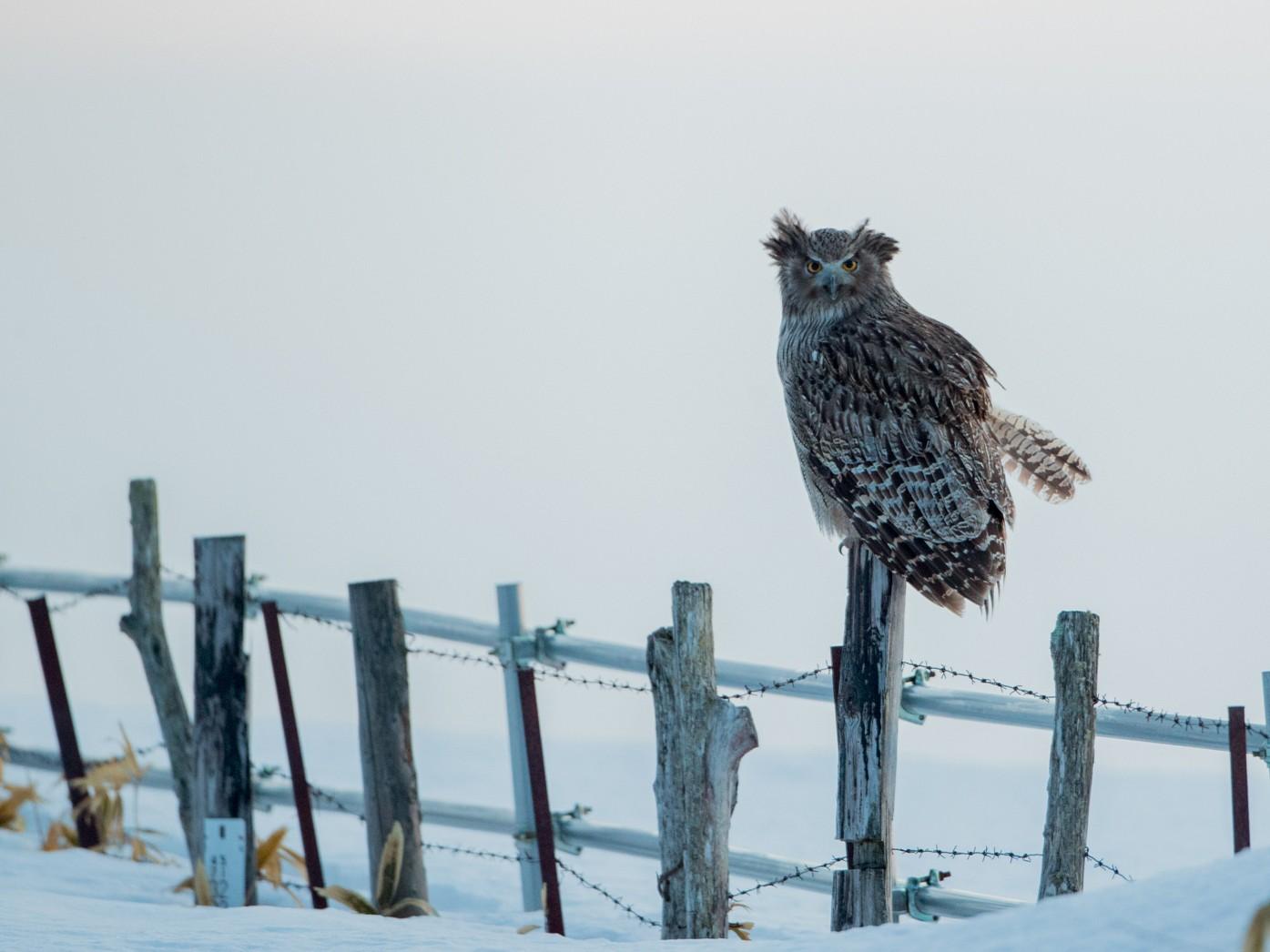 Blakiston's Fish-Owl - Eric Youngblood