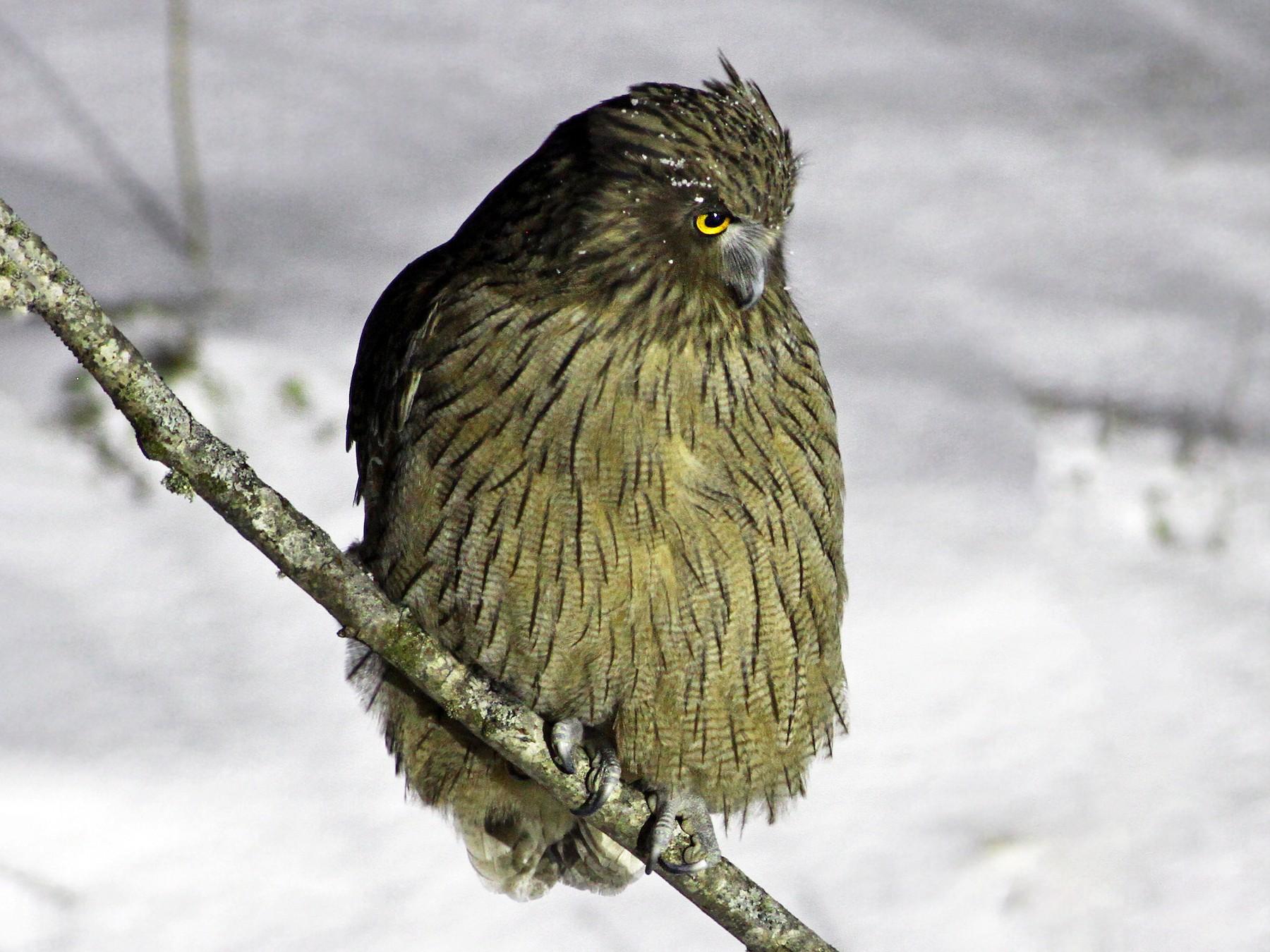 Blakiston's Fish-Owl - Andrew Spencer