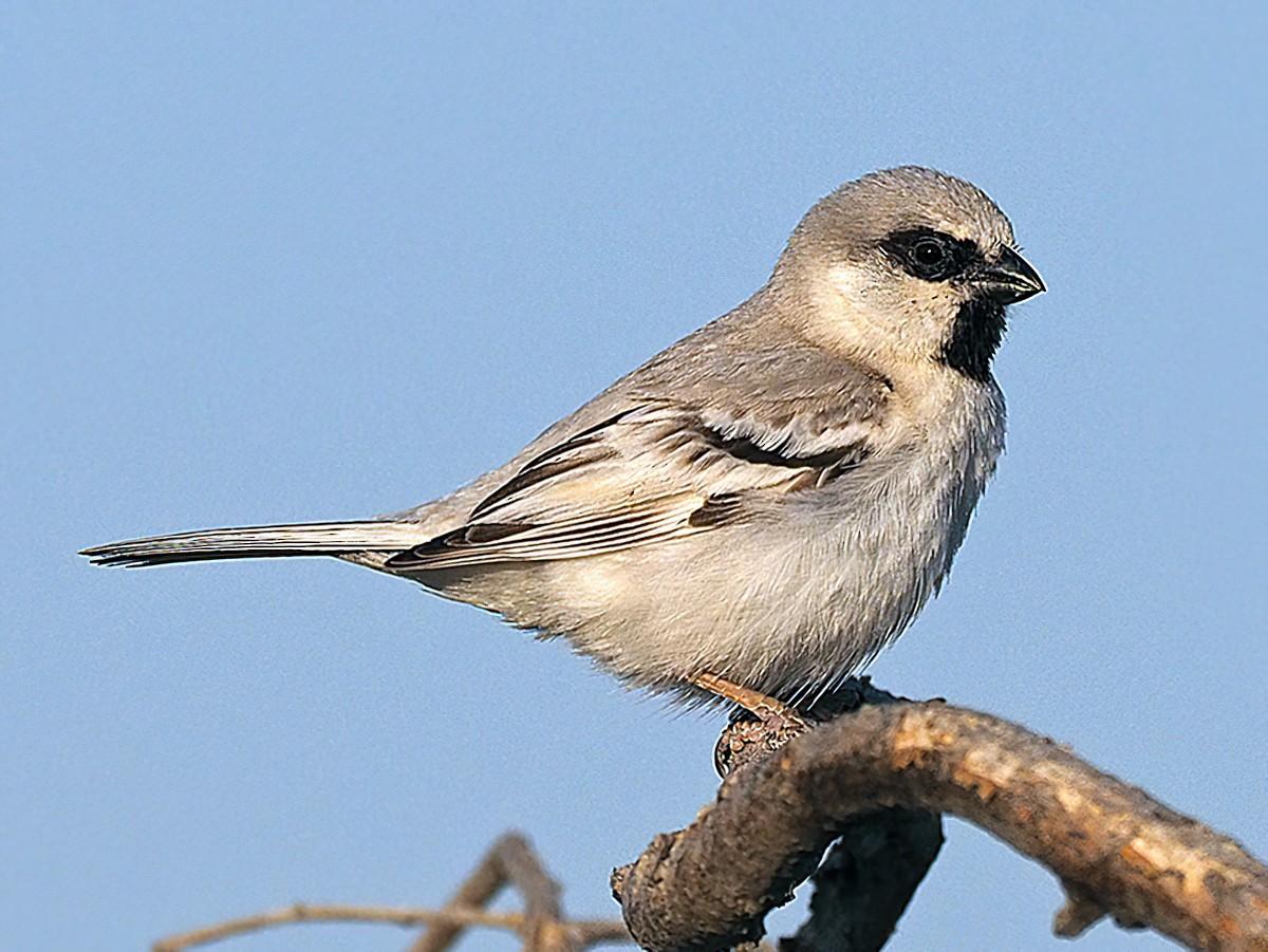 Zarudny's Sparrow - James Eaton
