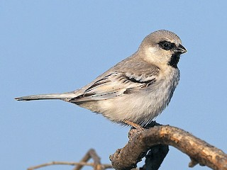 - Zarudny's Sparrow