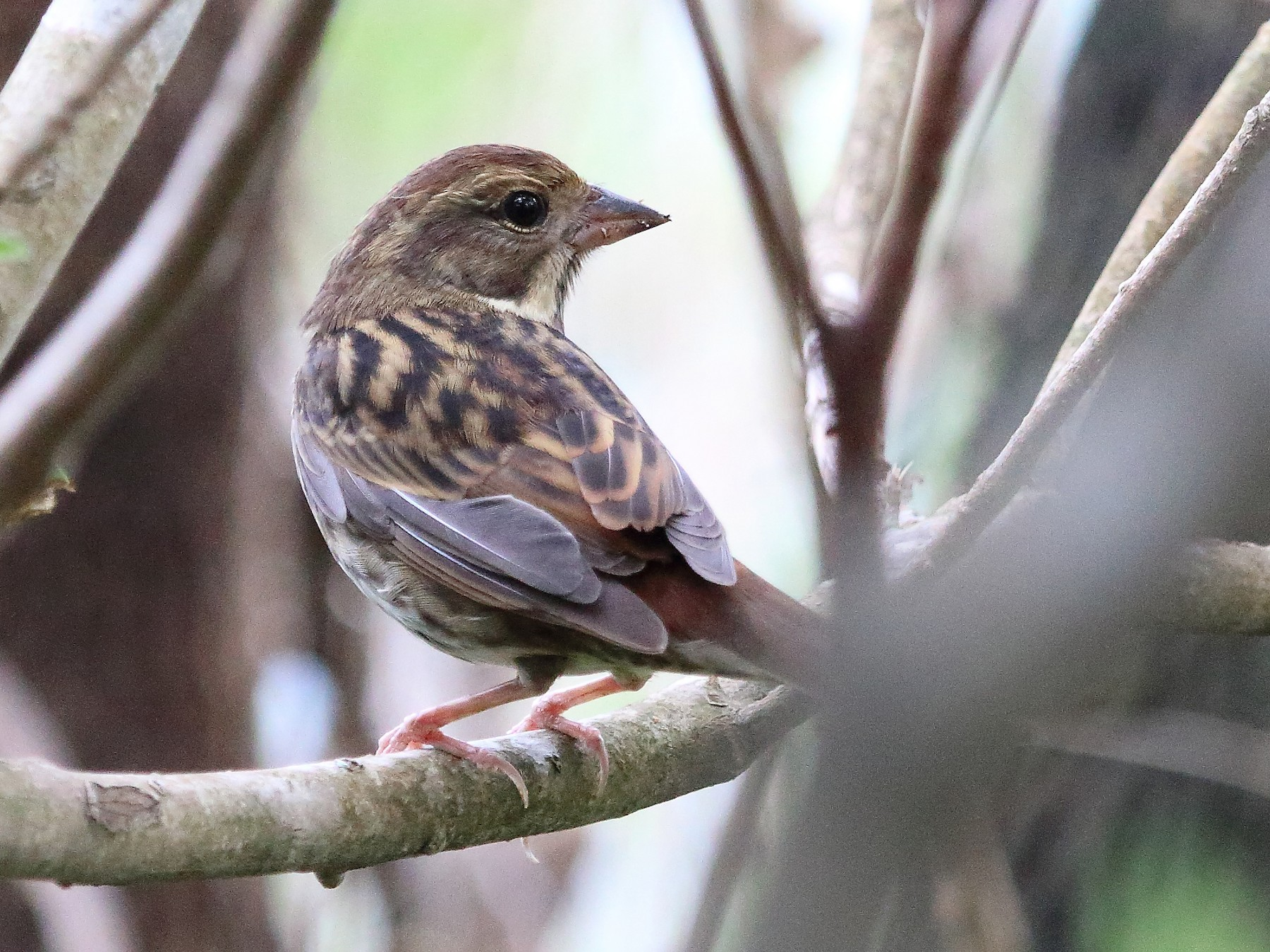 Gray Bunting - ST Chien