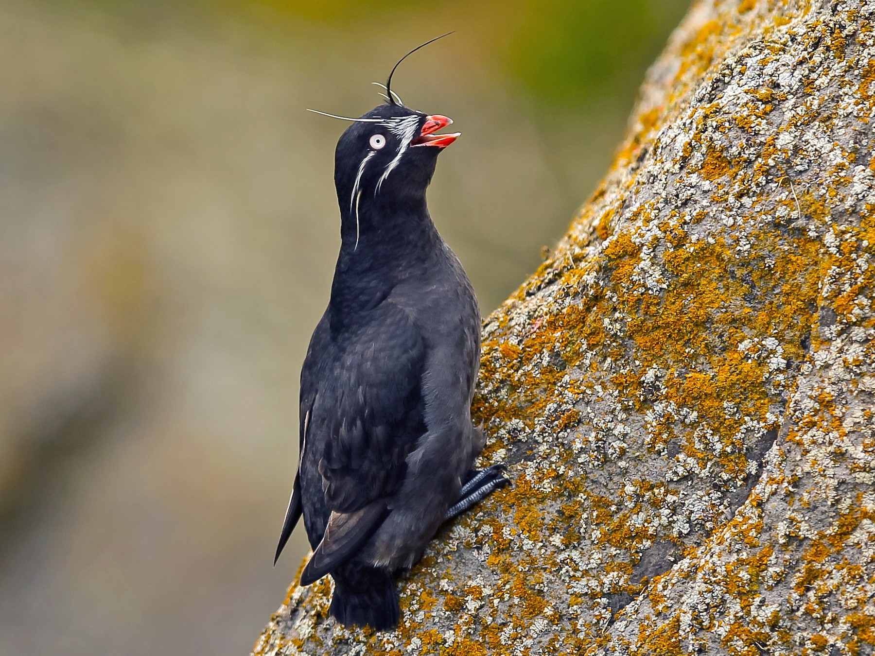 Whiskered Auklet - Paul Jones
