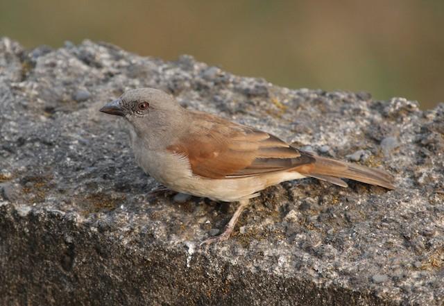 Northern Gray-headed Sparrow