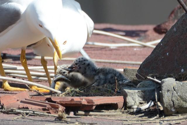 ©Ergün Cengiz - Yellow-legged Gull