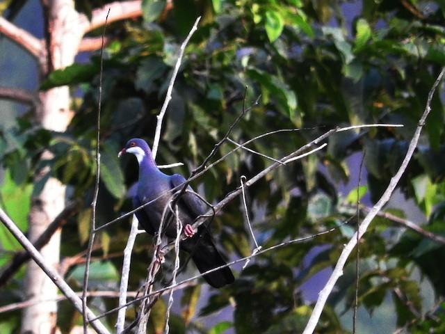 Metallic Pigeon