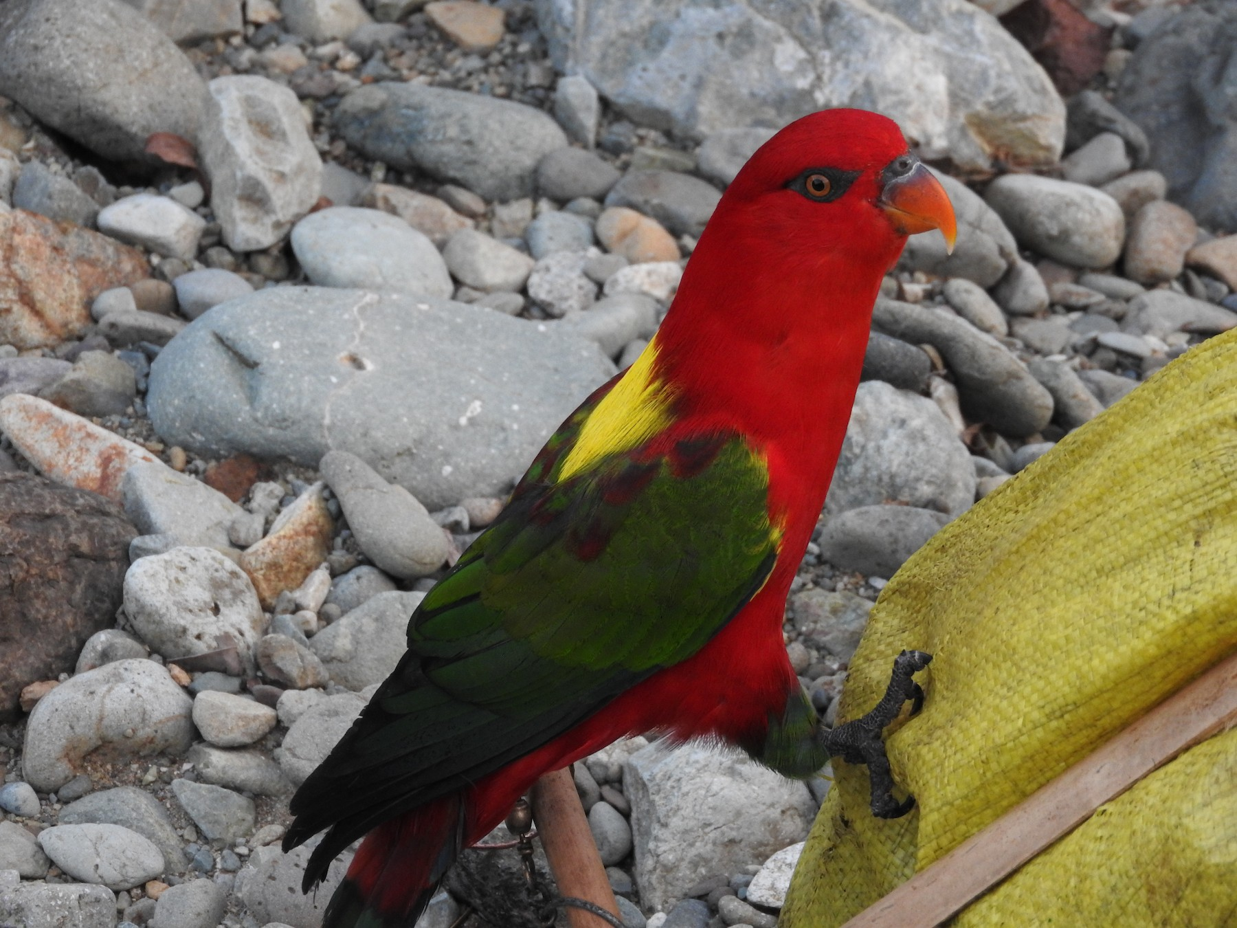 Chattering Lory - Pam Rasmussen
