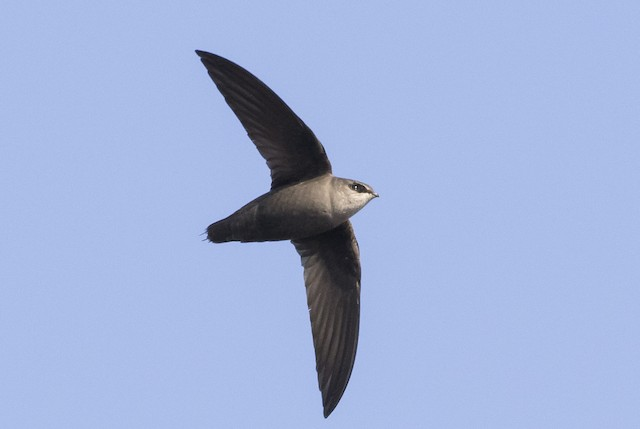 Chimney Swift