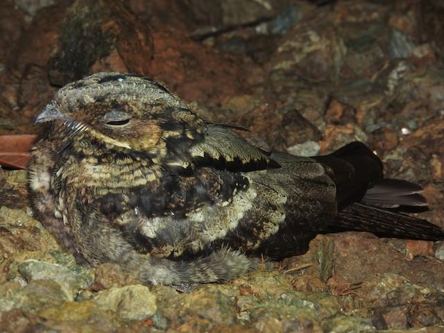 Large-tailed Nightjar