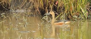 Lesser Whistling-Duck, ML232903081