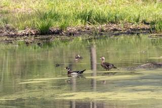 Wood Duck, ML233285331