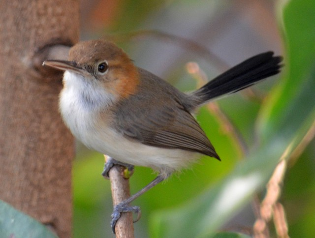 Long-billed Gnatwren (presumed subspecies <em>pallidus</em>).