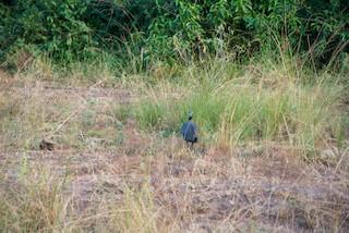 Helmeted Guineafowl, ML233386021