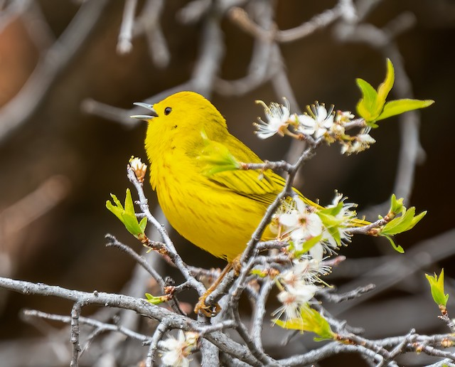©Charles  Gage - Yellow Warbler